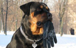 собака телохранитель и охранник