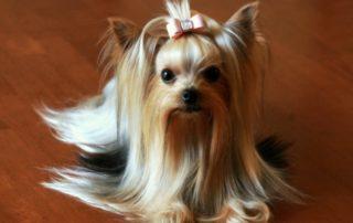 Нужна ли дрессировка декоративным собакам?