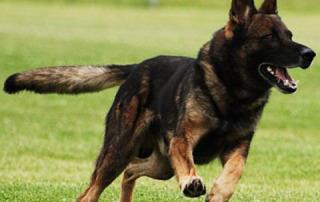Курс собака-телохранитель
