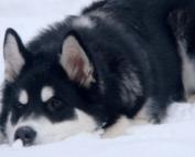 Аляскинский маламут, Тейси