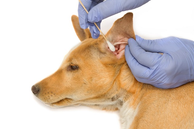 Заразные болезни собак: ушная чесотка
