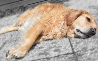 чума собак
