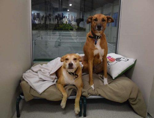 Передержка собак для социализации