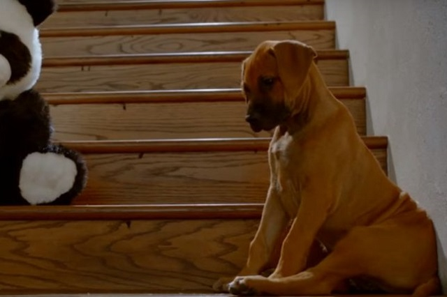 собака боится лестницу