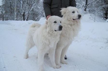 Маремма абруцкая овчарка