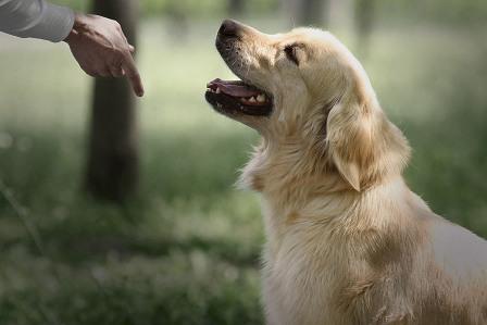 Курс собака-компаньон