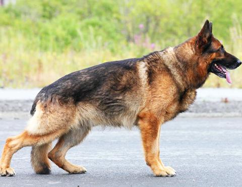 Подготовка собак служебных пород