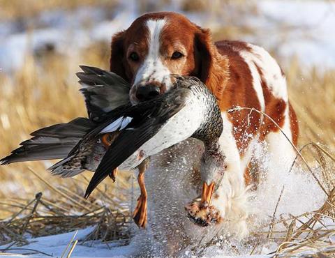 Дрессировка собак охотничьих пород
