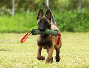 Подготовка собаки к сдаче норматива