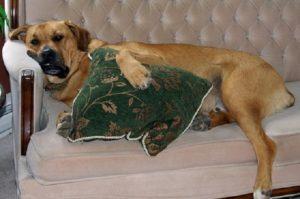 очеловечивание собаки