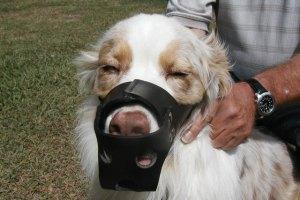 Приучение собаки к наморднику