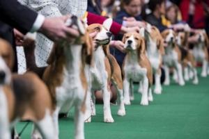 Подготовка собак к выставкам