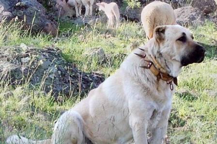 Охрана стада