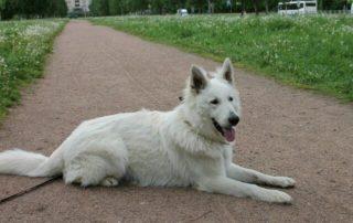 Белая швейцарская овчарка,Марсель