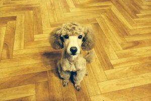 Дрессировка собак декоративных пород