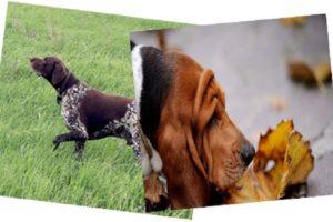 Работа собаки нижним или верхним чутьём