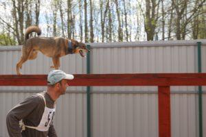 Приучение собак преодолевать препятствия