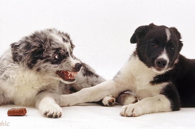 Агрессия собаки к собаке