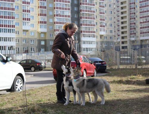 Сибирские Хаски Граф и Грей