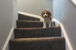 Если собака боится лестницы