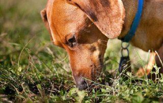 почему собаки едят фекалии