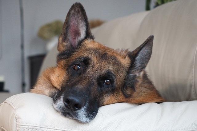 спокойная собака